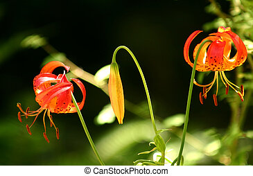 Leopard Lily - Leopard lilies in Muir Woods National...