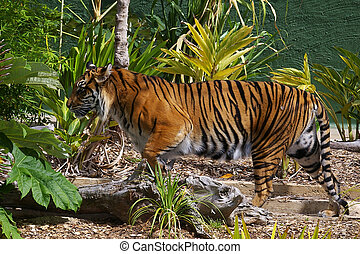 Sumatran Tigress strolling past