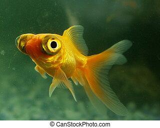 goldfish with googly eyes