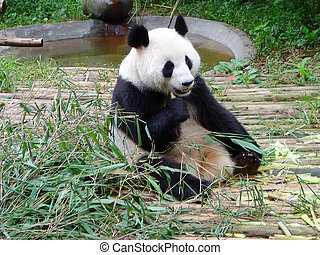 Giant Panda - giant panda in china