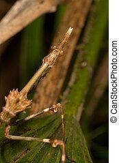 Mantis Empusa pennata