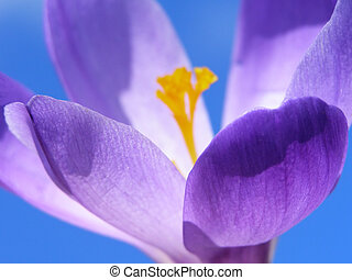 spring crocus - Close-up of violet spring crocus with...