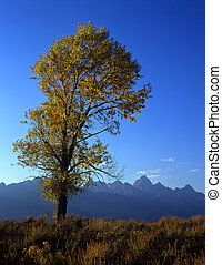 Tetons and Cottonwood - A cottonwood tree and the Teton...