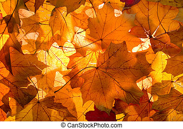 Fall - background - Leaves of maple on a background of solar...