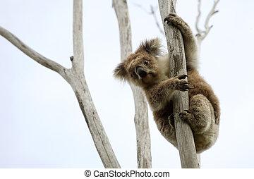 Wild Koala up a tree (not a zoo image)