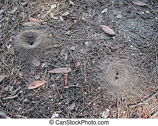 Fire anthill - a small fire ant hill the ant are just...