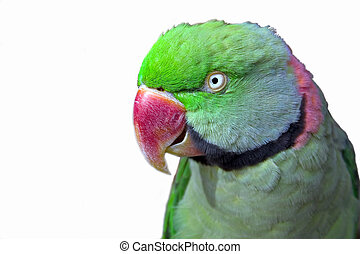 Isolated parrot - A ring neck parrot
