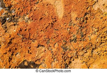 Orange lichen 2 - Orange lichen growing on rock.