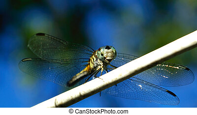 Dragonfly - a dragon fly on a line