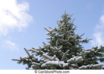 Spruce tree against blue sky