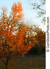 Autumn Color - First light on brightly colors trees shows...