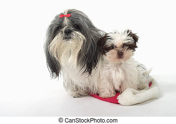 Two Dogs Sitting On A Santa Hat - Cute Shih Tzu dogs sitting...