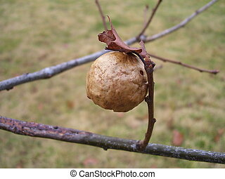 oak apple gall (which is a deformed oak leaf)
