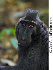 Black macaque - Crested black macaque in Tangkoko forest...
