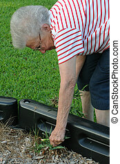 Weeding Grandma 3 - Senior citizen woman clearing weeds from...
