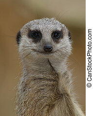 Meerkat looking at me