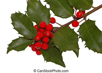 Holly Berries - Holly with red berries over a white...