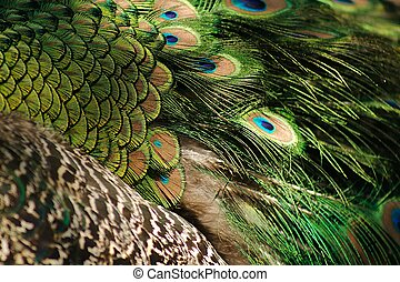 Peacock plumage - a closeup of peacock plumage
