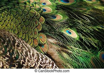 孔雀, 鳥類羽毛