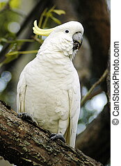 white parrot with yellow feathers on head sitting on a tree
