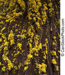 DouglasFur and Lichen - Lichen growing on the bark of a...