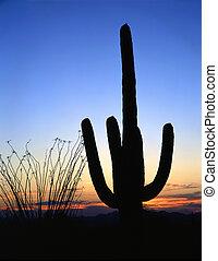 SaguaroSilhouette#2 - A saguaro cactus, in Saguaro Cactus...