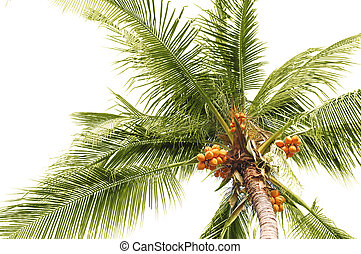 Palm coconuts