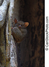 Spectral tarsier in a tree at Tangkoko forest North...