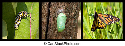 Transformation - a monarch caterpillar, cocoon, butterfly...
