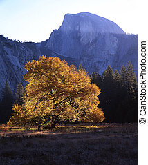 HalfDome and EnglishElm - An English Elm tree in the...