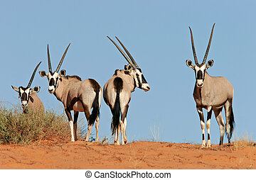 Gemsbok antelopes (Oryx gazella) on dune, Kalahari, South...