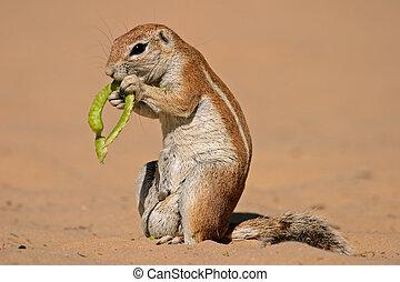 Ground squirrel (Xerus inaurus) feeding on a pod of a tree,...
