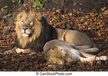 Lions - Male and femaile lions resting in the sun