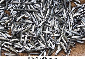 Anchovy Fish - Bumper harvest of a group of Anchovy fishes.