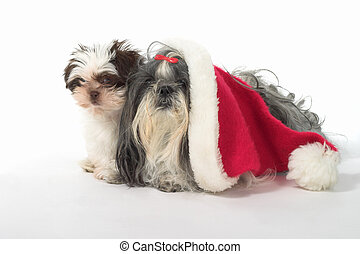 Two Dogs With A Santa Hat - Cute Shih Tzu dogs, one wearing...