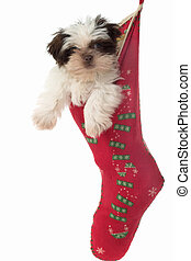 Puppy Hanging Around In Christmas Stocking 2 - Cute Shih Tzu...
