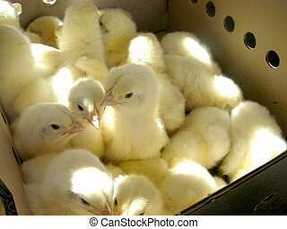 Cute Chicks in a Box - fuzzy little chicks in a box headed...