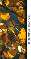 Autumn Leaves - Autumn leaves backlit by early morning...