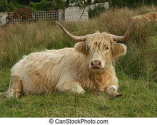 Peaceful Highlander - Highland cattle are symbolic of the...