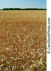 campo, maduro, trigo