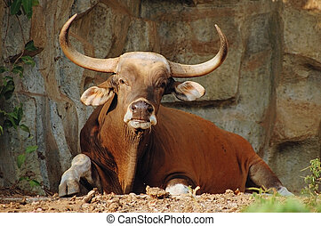 Resting banteng - Banteng wild ox from south-east Asia...