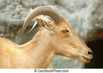 Mountain goat - Head shot of a mountain goat with curved...