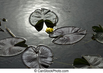 Lily in dark water - Yellow lotus flower with lily pads in...