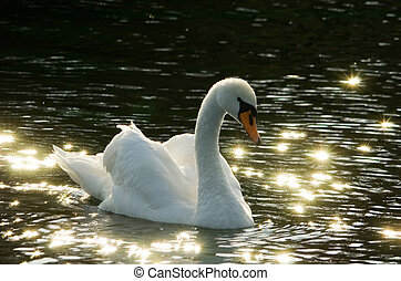 Romantic Swan - Backlit Mute Swan Cygnus olor on dark water...