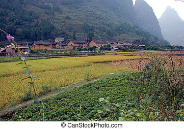 Padi field 2 - padi ready for harvest in China