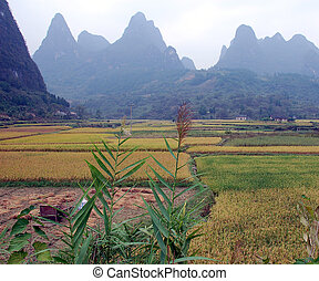 Padi field 4 - padi ready for harvest in China