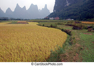Padi field - padi ready for harvest in China