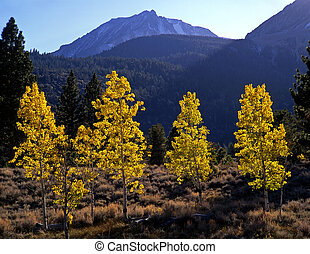 Aspens and MtDanaH - Aspen trees and Mt Dana in Yosemite...