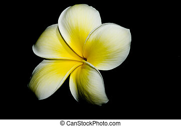 plumeria bloom on black background