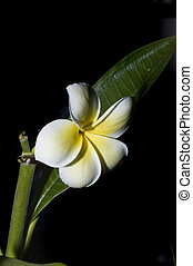plumeria leaf and bloom on black background